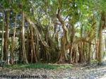 banyontree